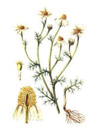 РОМАШКА АПТЕЧНАЯ (Matricaria chamomi)