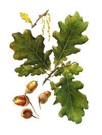 ДУБ ЧЕРЕШЧАТЫЙ ОБЫКНОВЕННЫЙ (Quercus robus)