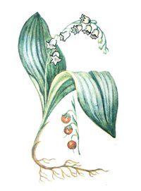 ЛАНДЫШ МАЙСКИЙ (Convallaria majalis)