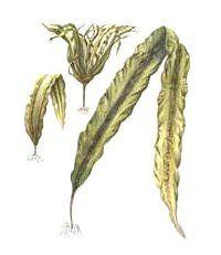 МОРСКАЯ КАПУСТА - ЛАМИНАРИЯ ЯПОНСКАЯ -Laminaria japonica