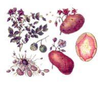 КАРТОФЕЛЬ (Solanum tuberosum) - КАРТОШКА