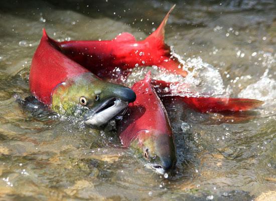 Лучшая рыба для похудения: красные сорта