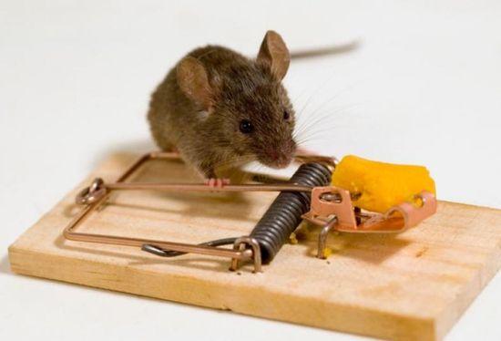Вредители – домашние мыши