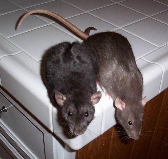Мыши дома