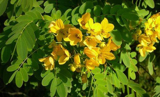 Фото листья сенны для похудения с отзывами