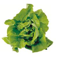 Салат - Растение заленый салат