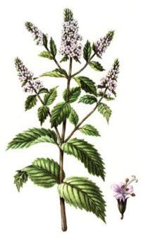 МЯТА ПЕРЕЧНАЯ (Mentha piperita)
