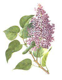 СИРЕНЬ ОБЫКНОВЕННАЯ (Syringa vulgaris)