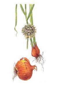 ЛУК РЕПЧАТЫЙ (Allium сера)