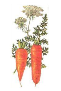 МОРКОВЬ ПОСЕВНАЯ (Daucus sativus)