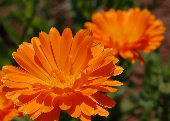 Цветки календулы. Оранжевая польза