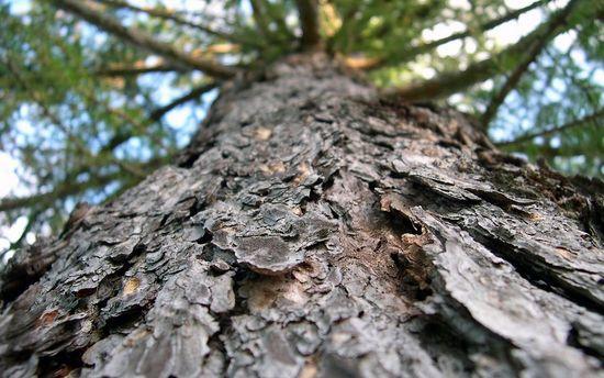 Лечение простатита народными средствами: кора лиственницы