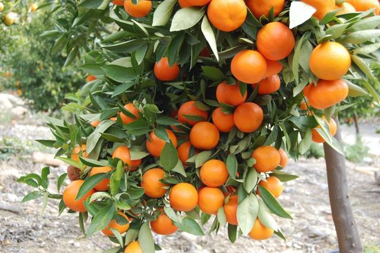 Худеют ли от мандаринов и насколько это полезно?
